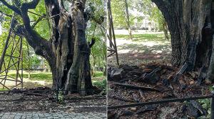 Eksperci zbadali 600-letni dąb po pożarze. Policja przesłuchuje świadków