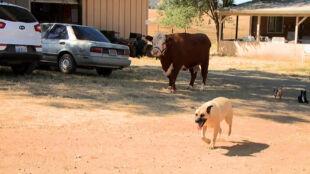 """Krowa z zaburzeniami: myśli, że jest psem. """"Ona nawet usiłuje wchodzić do samochodu"""""""
