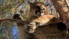 Puma siedziała na gałęzi drzewa na wysokości około 15 metrów (California Department of Fish & Wildlife)