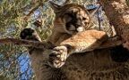 Puma siedziała na drzewie